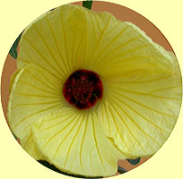 Hibiscus 'Banana Smoothie'