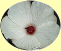 Hibiscus 'Tasty White'