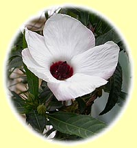 1 - Hibiscus heterophyllus (White Local)